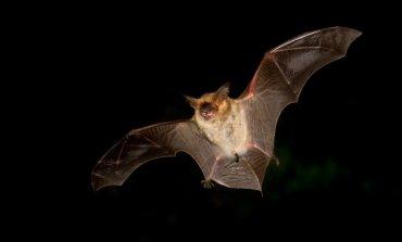 Lanzan recomendaciones a la población para saber cómo actuar ante la aparición de murciélagos