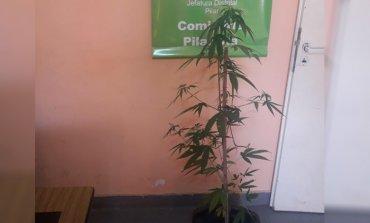 Detienen a un hombre que transitaba por la calle con una planta de marihuana