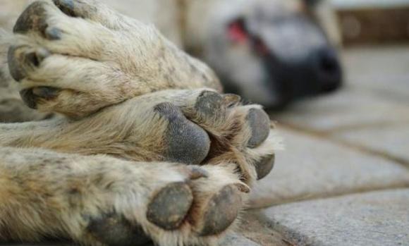 Seis perros fueron matados con carne envenenada en Villa Rosa